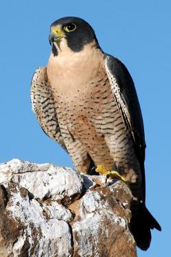 The Peregrine is one of the few Birds of Prey that prefer to hunt, catch and kill prey in mid-air - it possesses a unique tomial tooth on its beak which allows it to kill prey instantly. Most importanly however, despite its size, the Peregrine can reach s