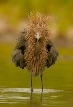 The Reddish Egret- this is totally how I look when I first get up. Hair, eyes...yep, I totally rock this look in the morning.: Animals, Nature, Funny, Bad Hair, Reddish Egret, Beautiful Birds, Angry Birds