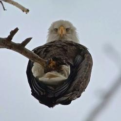 This is such a weird angle...: Photos, Picture, Animals, Nature, Creature, Bald Eagle, Beautiful Birds, Eagles