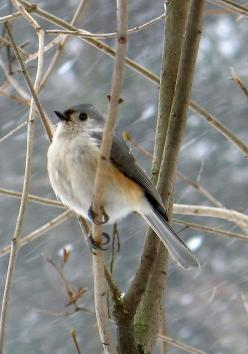Tufted Titmouse in winter: Photos, Tufted Titmouse, B S Birds Bugs Bunnies Bears, Beautiful Birds, Birds Earth Recycling, Winter Birds, Minds Quote, Animal