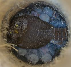 Varpuspöllön poikaset  Pygmy Owl and nestlings    photo by mattisj flickr: Babies, Animals, Pygmy Owl, Birds, Photo, Owls