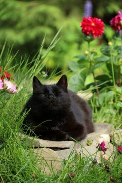 What a beautiful and sweet looking face!! Our handsome black kitty boy was so lovable and a total sweet purr machine.: Animals, Cat Nap, Black Cats, Beautiful Black, Blackcats, Chat, Feline, Kitty, Garden