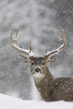 White Tailed Deer Buck in Snow Storm, western Montana; photo by Donald M. Jones: Donald O'Connor, Animals, Winter, White Tailed Deer, Photo