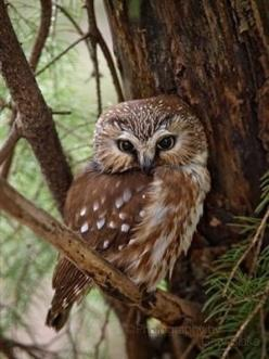 Whooooooo are you...oooo hoo, oooo hoo.: Northern Saw Whet, Animals, Nature, Hoot Hoot, Saw Whet Owl, Birds, Owls
