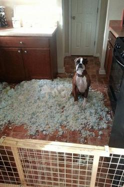 "11 Dogs Who Have No Idea Where This Mess Came From #refinery29  http://www.refinery29.com/the-dodo/70#slide5  ""I swear, I'm just as baffled as you are."": Boxer Dogs Funny, Ideas, Funny Boxer Dogs, 11 Dogs, Funny Dogs Boxer, Funny Stuff, Boxers"