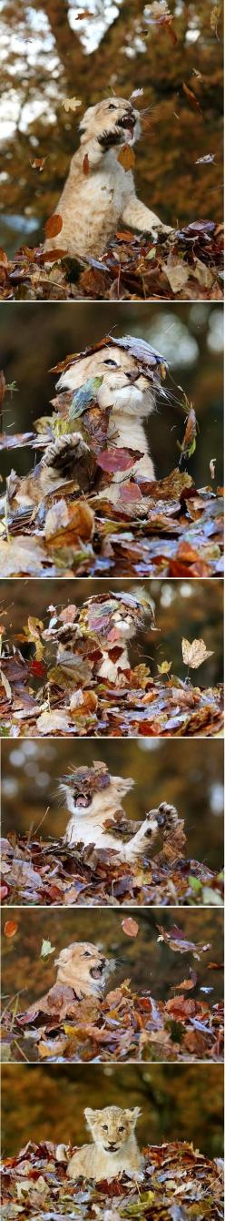 11 week old lion cub playing in leaves... Possibly the cutest thing I have ever seen how freakin cute: Animals, Big Cats, Autumn Animal, Baby Lions, Lion Cat, Lion Cubs