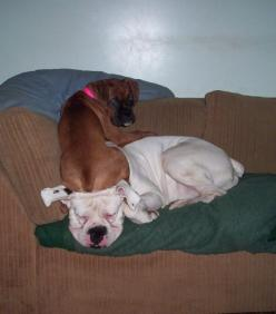 And another Boxer thing...: Boxer Dogs Funny, Boxers Bulldog, Boxers Rule, Boxers Dogs, Boxers Funny, Boxer Thing, Boxers Animals, Boxer Babies, Friend