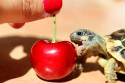And there's no harm in treating yourself, either. | 20 Life Lessons We Can Learn From Turtles And Tortoises: Animals, Baby Tortoises, Turtles Tortoises, Life Lessons, Cute Turtle, 20 Life, Cherries, Baby Turtles