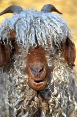 Angora Goat, a very great and woolly beast!: Farm Animals, Angora Geit, Sheep Goats, Creature, Woolly Beast, Bad Hair, Fiber Animal, Angora Goats