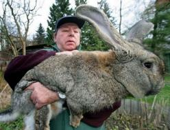 Animals That You Didn't Know Exist - Giant Gray Rabbit: Animals, Rabbits, Pet, Giant Rabbit, Funny, Things, Bunnies, Flemish Giant