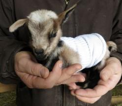 {baby goat in a sock sweater} oh yes!: Babies, Baby Goats In Sweaters, Posts, Socks, Sock Sweater, Baby Goat In Sweaters, Baby Animals, Goats Animals, Kid