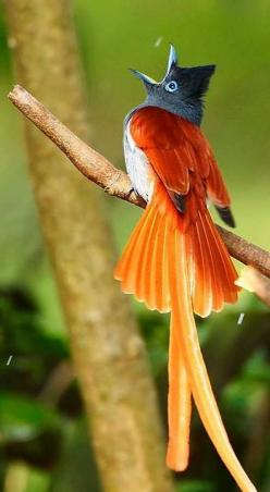 Bird… African Paradise Flycatcher: African Flycatcher, African Birds, Birds Flycatcher, Animals Birds, Fish Birds Animals