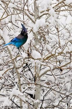 Bird in snow: Animals, Winter, Tree, Nature, Snow, Blue Jays, Beautiful Birds, Photo