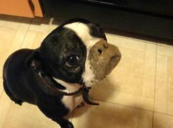 "Boston Terrier  ""I don't have a muddy nose"" ?  Why do you ask?: Boston Crazy, Doggy Z, Boston Baby, Boston Terrior, Boston S Mostly, Boston S Animals, Boston Terriers, Faced Dogs, Bostonterriers Bostonterrier"
