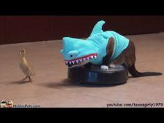 Cat in a Shark Costume Who Chases a Duck While Riding on a Roomba   The 30 Most Important Cats Of 2013
