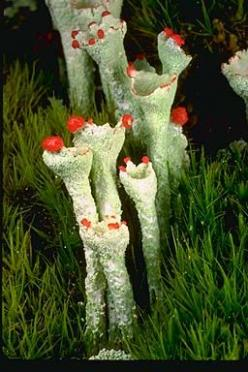 "✿ Cladonia deformis, the ""lesser sulphur-cup"", on the mossy roof of a collapsing farm building, central British Columbia.✿: Mushrooms Lichen Fungi, Mushrooms Lichens Mosses Ferns, Mushrooms Fungi Lichen Moss, Mushrooms Fungi Lichens, Mushroom Fung"