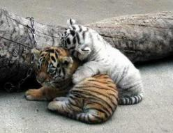 cute animal babies - Yahoo! Image Search Results: Babies, Big Cats, Pet, Tiger Cubs, Adorable, Baby Animals, Baby Tigers, Friend
