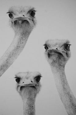 disapproving ostriches do not approve....of anything....: Face, Animals, Stuff, Ostriches, Art, Funny, Things, Birds