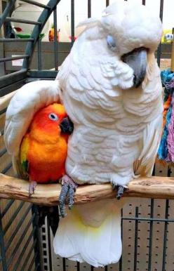 Don't worry my son, I'll take you under my wing - Imgur: Animals, Sweet, Sun Conure, Parrots, Pet, Beautiful Birds