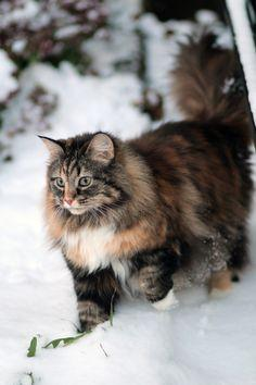 fearlessly scouting the woods...: Cats, Kitten, Animals, Norwegian Forest Cat, Maine Coon, Fearlessly Scouting, Kitty, Mainecoon