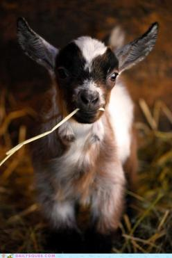 Follow the West Wind: Farm Animals, Babygoat, Pet, Farm Life, Baby Animal, Pygmy Goats, Things, Baby Goats, Kid