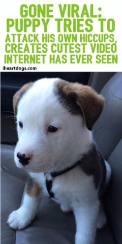 GONE VIRAL: Puppy Tries To Attack His Own Hiccups, Creates Cutest Video Internet Has Ever Seen: Funny Pets, Cutest Puppy, Animals And Pets Puppies, Cute Puppies, Cutest Pet, Animal Video, Dog, Funny Animals Videos