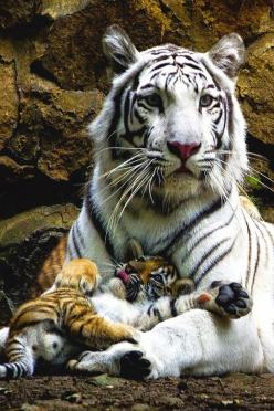 Google+: White Tigers, Animals, Big Cats, Mother, Beautiful, Bigcats, Tiger Cubs, Wild Cats