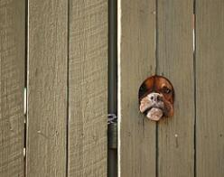 Hec would love if we cut a hole in the fence for him! LOL, sorry dude, not gonna happen.: Face, Animals, Bulldog Boxers, Boxer Dogs 3, Things, Favorite, Boxer Babies, Friend