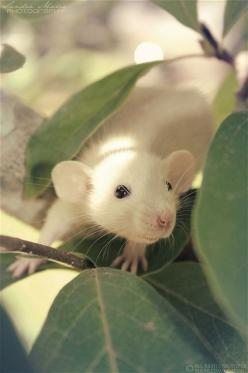 I love white w black eyes! I want one: Animals, Sweet, Adorable Rat, Black Eyes, Pool, Pet Rats, Dumbo Rat, Photo