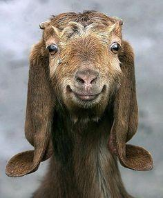 If I were a goat I'd want to be this one! :): Goats, Face, Animals, Funny, Smile, Happygoat, Happy Goat, Smiling Goat