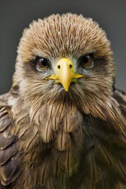 Looking at me (by: Glyn Edmunds): Glyn Edmunds, Animals, Nature, Glynedmunds, Beautiful Birds, Eagles, Photo