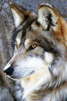 Love For Wolves: Photo What a wonderful picture! Beautiful...well done!