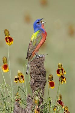 Male Painted Bunting: Animals, Color, Buntings, Beautiful Birds