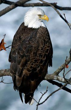 Mature Bald Eagle #Eagle #BirdsofPrey #BirdofPrey #Bird of Prey
