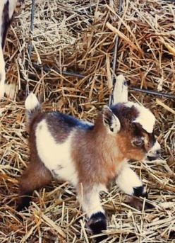 miniature goat OMG so cute!: Miniature Goats, Babies, Pygmy Goat, Mini Goats, Babygoats, Minis, Baby Animals, Baby Goats, Adorable Animal