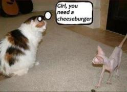 my cat would say this.: Cats, Animals, Girl, Funny Stuff, Humor, Cheeseburger, Funnies