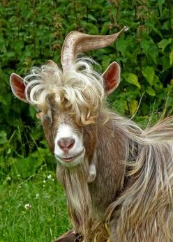 "One day Floyd finally realized he wasn't a ""kid"" anymore! He was indeed: Billy Goat's Gruff!~W: Sheep Llamas Goats, Sheep Goats, Goats Anything, Goats Sheep, Billy Goats, Amazing Animals, Photo, Animals Birds Insects Reptiles, Stylish Goat"