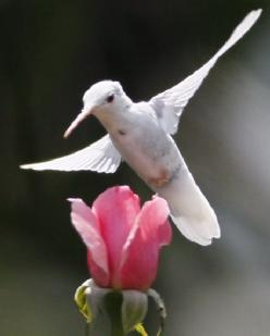 RARE ALBINO HUMMINGBIRD .: Humming Birds, Amazing Hummingbirds, Hummingbirds ️, Humming-Bird, Pink Rose, Ahhhh Hummingbirds, Albino Hummingbird, Animal