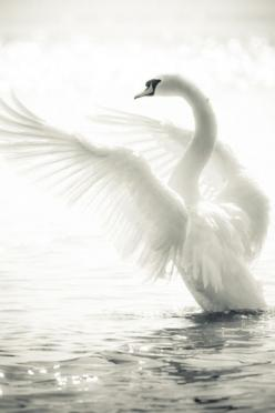 ~S*W*A*N = PuRE gRaCE ~*: Animals, Nature, Beautiful, White Swan, Beauty, Photo, Birds