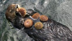Sea Urchin snack...: Seaotters, Animals, Post, Sea Urchins, Creatures, Urchin Loving Otters, Sea Otters