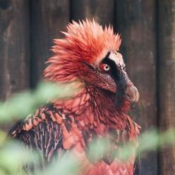 The Bearded Vulture is sparsely distributed across a considerable range. It may be found in mountainous regions from Europe through much of Asia and Africa.: Animals, Nature, Creatures, Beautiful Birds, Photo