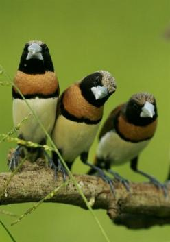 The Chestnut-breasted Mannikin (Lonchura castaneothorax), also known as the Chestnut-breasted Munia or Bully Bird (in Australia), is found in Australia, New Caledonia, Indonesia, and Papua New Guinea. This species is also introduced to French Polynesia &a