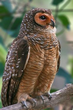 The gorgeous Spotted Wood Owl -- (by Amazing World: Owl Strix, Animals, Spotted Wood, Birds Owls, Owl Photo, Owl, Owls Birds, Woods