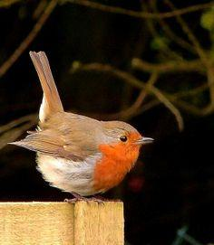 The National bird of England and the herald of Christmas - lovely little birds who peck through the lids and drink the cream from the top of the glass milk bottles on people's doorsteps.  European Robin also known as the Robin Red Breast.: English Rob