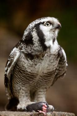 The Northern Hawk-Owl (Surnia ulula), or Northern Hawk-Owl in North America, is a non-migratory owl that usually stays within its breeding range, though it sometimes irrupts southward. It is one of the few owls that is neither nocturnal nor crepuscular. T