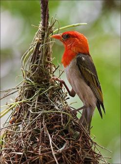 The Red-headed Weaver (Anaplectes rubriceps[2][note 1]) is a species of bird in the Ploceidae family. It s found throughout the Afrotropics.: Birds Nests, Bird Nests, Beautiful Birds, Photo, Birds Eggs Nests, Red Headed Weaver