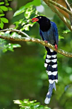 """The Taiwan Blue Magpie, Urocissa Caerulea, also called the Taiwan Magpie or Formosan Blue Magpie (Chinese: 臺灣藍鵲; pinyin: Táiwān lán què) or the """"long-tailed mountain lady"""", is a member of the Crow family. It is an endemic species living in the mou"""