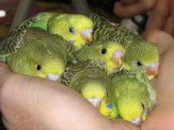 They're cuddly | Community Post: 10 Reasons Why Budgies Are The Best: Baby Parakeet, Birds Parakeets, Baby Budgies, Parakeets Budgies Parrots Etc, Pet Birds, Budgies Parakeet, Birds Budgies, Baby Birds, Animal