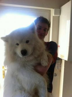 This pup seems to be a beautiful Samoyed, a dog first bred in western Siberia, that is typically used for sledding and cuddling -- to keep t...: Animals, Samoyed, Pets, Puppy, Adorable, Big Dogs