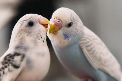 thought you might like to know your fly is down....: Kiss, Parakeets, Adorable Animals, Pet, Animals Birds, Beautiful Birds, Birds Budgies, Photo